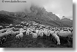 alto adige, animals, black and white, dolomites, europe, horizontal, italy, sheep, tofane, photograph