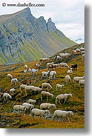 alto adige, animals, dolomites, europe, italy, sheep, tofane, vertical, photograph