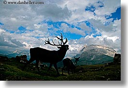 alto adige, animals, bucks, doe, dolomites, europe, horizontal, italy, photograph