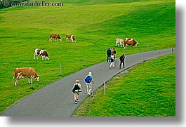 alto adige, cows, dolomites, europe, hikers, horizontal, italy, rosengarten, photograph