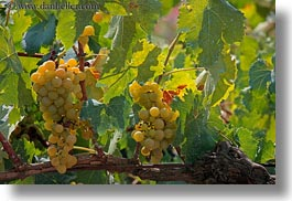 alberobello, europe, grapes, green, horizontal, italy, puglia, vines, vineyards, photograph