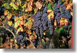 alberobello, europe, grapes, horizontal, italy, puglia, red, vines, vineyards, photograph