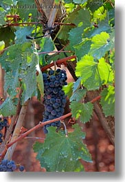 alberobello, europe, grapes, italy, puglia, red, vertical, vines, vineyards, photograph