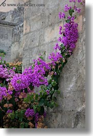 bougainvilleas, europe, flowers, italy, matera, nature, plants, puglia, purple, stones, vertical, walls, photograph