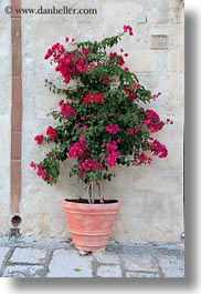 bougainvilleas, europe, flowers, italy, matera, nature, plants, puglia, red, vertical, photograph