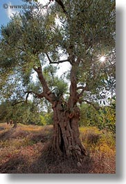 europe, italy, olive trees, olives, otranto, puglia, trees, vertical, photograph