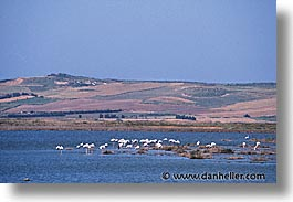 europe, flamingo, horizontal, italy, sardinia, stagno di cabras, photograph
