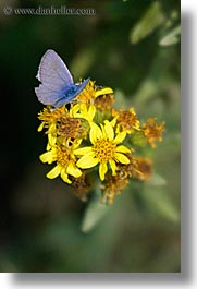 butterflies, europe, flowers, italy, tuscany, vertical, photograph