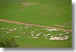animals, dirt road, europe, hikers, hiking, horizontal, italy, paths, people, scenics, sheep, tuscany, photograph