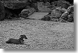 animals, beaches, black and white, dachsund, dogs, europe, horizontal, isola giglio, italy, towns, tuscany, photograph