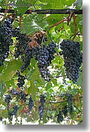europe, grapes, italy, montalcino, red, towns, tuscany, vertical, vines, photograph