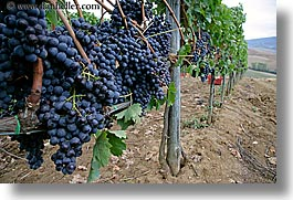 europe, grapes, horizontal, italy, red grapes, tuscany, vines, wineries, photograph
