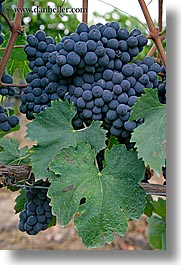 europe, grapes, italy, red grapes, tuscany, vertical, vines, wineries, photograph