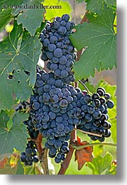 europe, grape vines, grapes, italy, leaves, red grapes, tuscany, vertical, vines, wineries, photograph