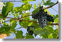 europe, grape vines, grapes, horizontal, italy, leaves, red grapes, sky, tuscany, vines, wineries, photograph