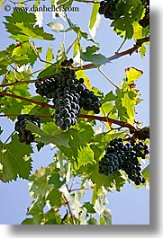 europe, grape vines, grapes, italy, leaves, red grapes, sky, tuscany, vertical, vines, wineries, photograph