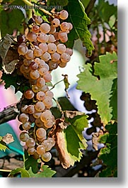 europe, grapes, italy, tuscany, vertical, vines, white grapes, wineries, photograph