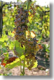 europe, fruits, grapes, italy, tuscany, vertical, vines, white grapes, wineries, photograph