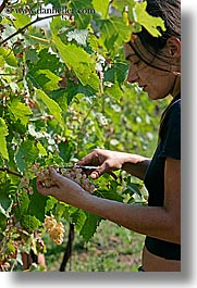 europe, grapes, italy, picking, sassotondo agritourismo, teenagers, tuscany, vertical, wineries, womens, photograph
