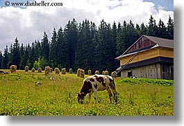 cows, europe, horizontal, pasture, poland, scenics, zakopane, photograph