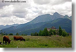cows, europe, horizontal, mountains, pasture, poland, scenics, zakopane, photograph