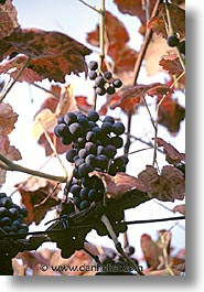 europe, grapes, portugal, scenics, vertical, western europe, photograph