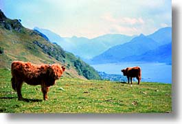 animals, cows, cowscows, england, europe, highlands, horizontal, scotland, united kingdom, photograph