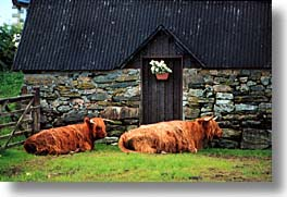 animals, cows, cowscows, england, europe, horizontal, lounging, scotland, united kingdom, photograph