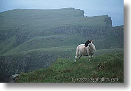 animals, england, europe, horizontal, scotland, sheep, united kingdom, photograph