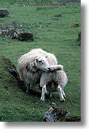 animals, england, europe, scotland, sheep, united kingdom, vertical, photograph