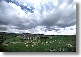 animals, big, england, europe, horizontal, scotland, sheep, skye, united kingdom, photograph