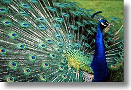 animals, england, europe, horizontal, peacock, scotland, united kingdom, photograph