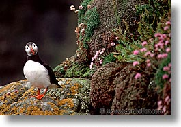 birds, england, europe, horizontal, puffin, scotland, united kingdom, photograph