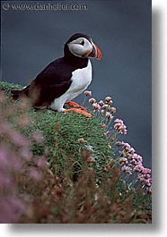 birds, england, europe, puffin, scotland, united kingdom, vertical, photograph