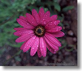 england, europe, flowers, horizontal, osteospermum, scotland, united kingdom, photograph