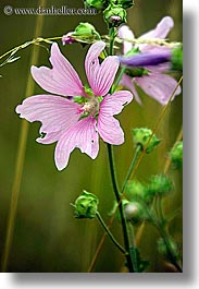 europe, flowers, pink, slovakia, vertical, photograph