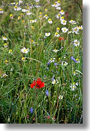 europe, flowers, poppies, red, slovakia, vertical, white, wildflowers, photograph