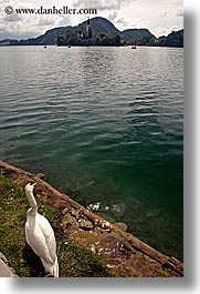 birds, bled, europe, lakes, slovenia, swans, vertical, photograph
