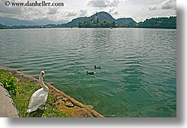 birds, bled, europe, horizontal, lakes, slovenia, swans, photograph