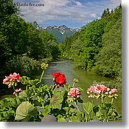 bohinj, europe, flowers, geraniums, mountains, rivers, slovenia, square format, photograph