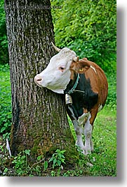 bohinj, cows, europe, hug, slovenia, trees, vertical, photograph
