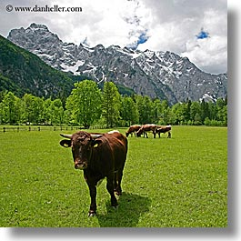 cows, europe, logarska dolina, mountains, slovenia, square format, photograph
