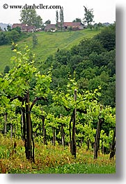 europe, slovenia, styria, vertical, vineyards, photograph