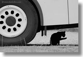 ansovell, black, black and white, cats, europe, horizontal, spain, wheels, white, photograph