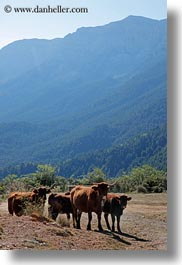 ansovell, bulls, cows, europe, mountains, nature, spain, vertical, photograph