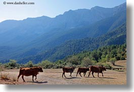 ansovell, bulls, cows, europe, horizontal, mountains, nature, spain, photograph