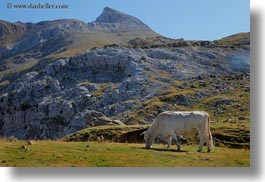 cows, europe, grazing, horizontal, mountains, mt bisaurin, nature, spain, photograph
