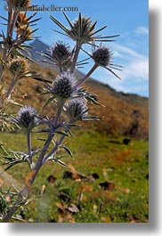 europe, flowers, mountains, mt bisaurin, nature, purple, spain, thistle, vertical, photograph