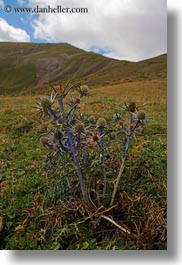 europe, flowers, mt bisaurin, nature, purple, spain, thistle, vertical, photograph