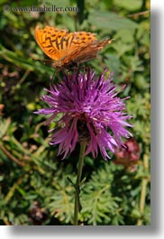 butterflies, europe, flowers, nature, ordesa, purple, spain, thistle, vertical, photograph